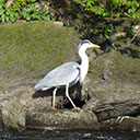 Heron are commonly sighted on the River Avon near Aveton Gifford